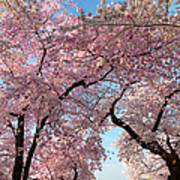 Cherry Blossoms 2013 - 025 Art Print