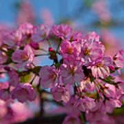 Cherry Blossoms 2013 - 031 Art Print