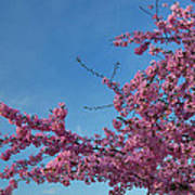 Cherry Blossoms 2013 - 037 Art Print by Metro DC Photography