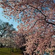 Cherry Blossoms 2013 - 038 Art Print
