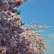 Cherry Blossoms 2013 - 046 Art Print