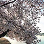 Cherry Blossoms 2013 - 092 Art Print