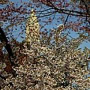 Cherry Blossoms And The Monument Art Print