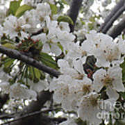 Cherry Blossoms Branching Out Art Print