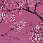 Cherry Blossoms  Art Print by Darice Machel McGuire