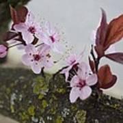 Cherry Blossoms On A Branch Art Print