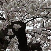 Cherry Blossoms - Washington Dc - 0113114 Art Print by DC Photographer