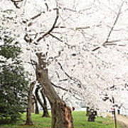 Cherry Blossoms - Washington Dc - 0113135 Art Print