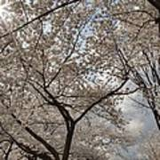 Cherry Blossoms - Washington Dc - 011375 Print by DC Photographer