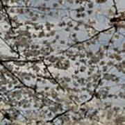 Cherry Blossoms With Jefferson Memorial - Washington Dc - 011330 Print by DC Photographer