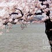 Cherry Tree And The Potomac Art Print