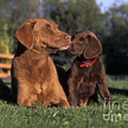 Chesapeake Bay Retrievers Art Print
