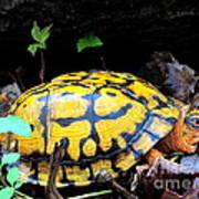 Chesapeake Box Turtle Art Print