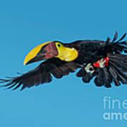 Chestnut-mandibled Toucan Flying Art Print