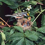 Chestnut-sided Warbler At Nest Art Print
