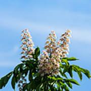 Chestnut Tree Blossoms - Featured 2 Art Print