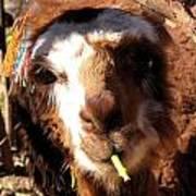 Chewing Llama Art Print