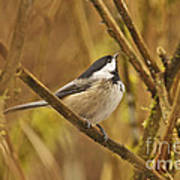 Chickadee On Alert Art Print