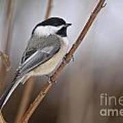 Chickadee Pictures 316 Art Print
