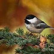 Chickadee Pictures 375 Art Print