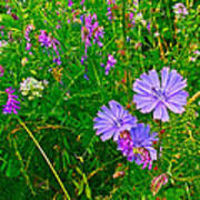 Chicory And Purple Vetch Along Rivier Du Nord Trail In Laurentians-quebec Art Print