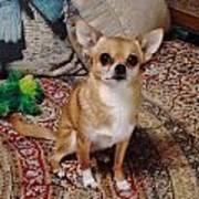 Chihuahua Cutie Art Print