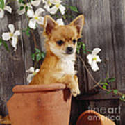 Chihuahua Dog In Flowerpot Art Print
