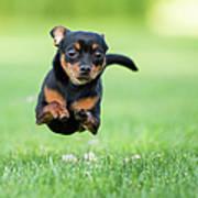 Chihuahua Dog Running Art Print