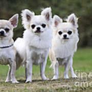 Chihuahua Dogs Art Print