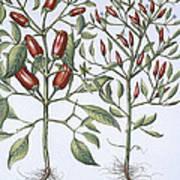 Chilli Pepper Plants Art Print