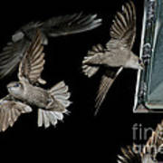 Chimney Swifts Art Print
