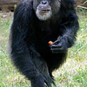 Chimpanzee-5 Art Print