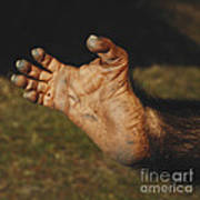 Chimpanzee Foot Art Print