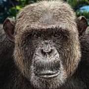 Chimpanzee Male Art Print