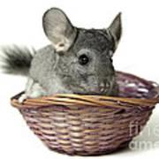 Chinchilla In A Straw Basket  Art Print