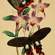 Chinese Butterflies Art Print by Philip Ralley