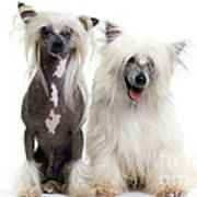 Chinese Crested Dogs Art Print