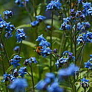 Chinese Forget Me Nots And Honey Bee Art Print