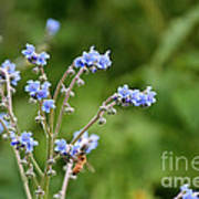 Chinese Forget Me Nots Art Print