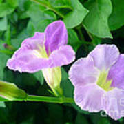 Chinese Violet  1 Art Print