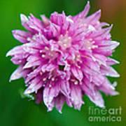 Chive Flower Art Print
