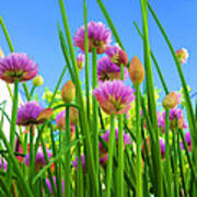 Chive Flowers And Buds Art Print