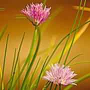 Chives Flowers Art Print