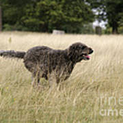 Chocolate Labradoodle Running In Field Art Print