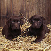 Chocolate Labrador Puppies Art Print