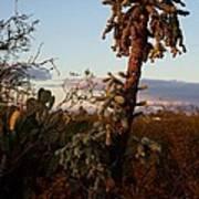 Cholla Cactus View Art Print