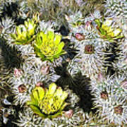 Cholla Flowers Art Print