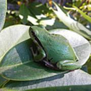 Chorus Frog On A Rhodo Art Print