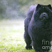 Chow Chow Dog Art Print