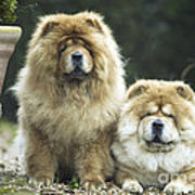 Chow Chow Dogs Art Print